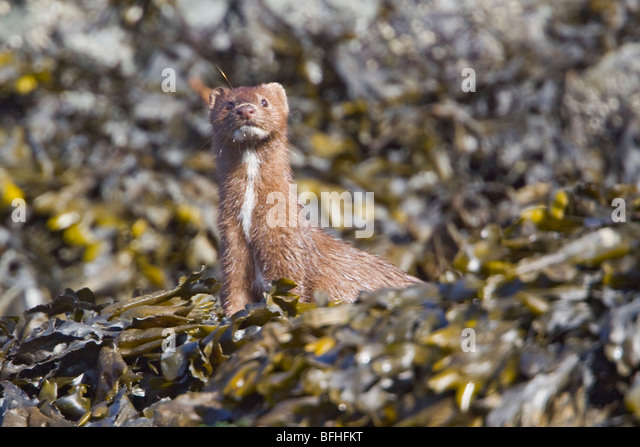 Weasel searching for food along the shoreling near Victoria, BC, Canada. - Stock Image