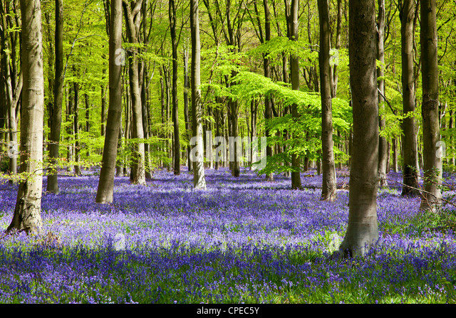 Dappled sunshine falls through fresh green foliage in a beechwood of bluebells in England, UK - Stock Image