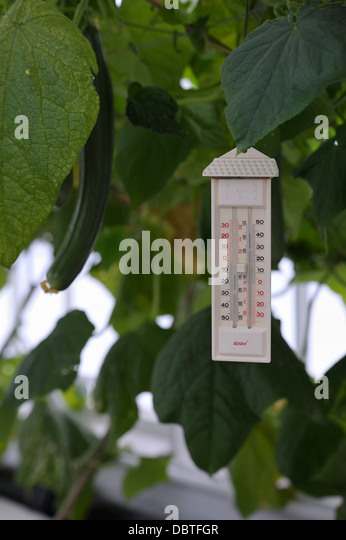A greenhouse thermometer hanging up amongst the cucumbers  showing a temperature of around 32 degrees centigrade - Stock Image
