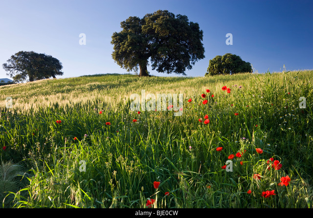 Wild flowers in field, spring, nr Olvera, Andalucia, Spain - Stock-Bilder