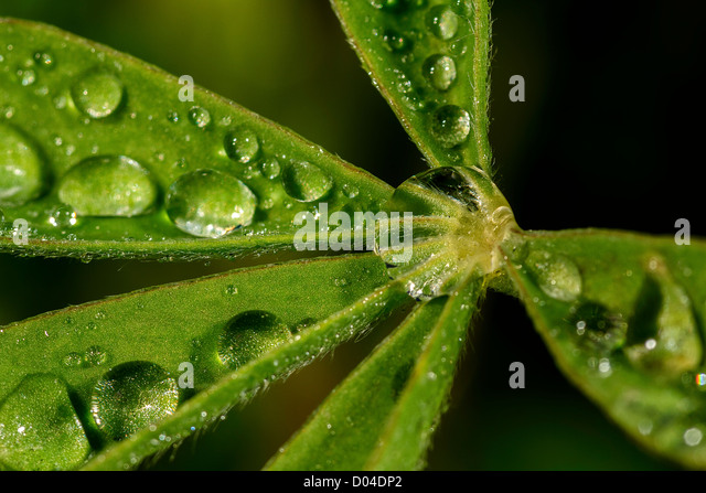 Water (dew) drops on a leaf - Stock Image