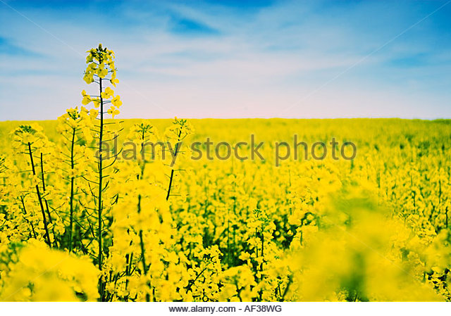 Field of oil seed rape (cross process style) - Stock-Bilder