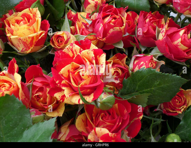 A Bunch of Two-Tone (Red and Yellow) Roses - Stock Image