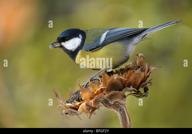 Great Tit feeding on the sunflower, Parus major - Stock Image