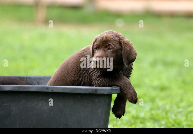 Wet brown Labrador Retriever, puppy sitting in a plastic tub - Stock Image