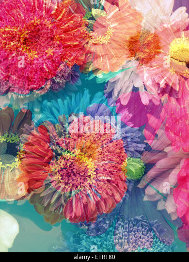 blossoms of dahlia and daisy star, poetic photographic layer work, - Stock Image