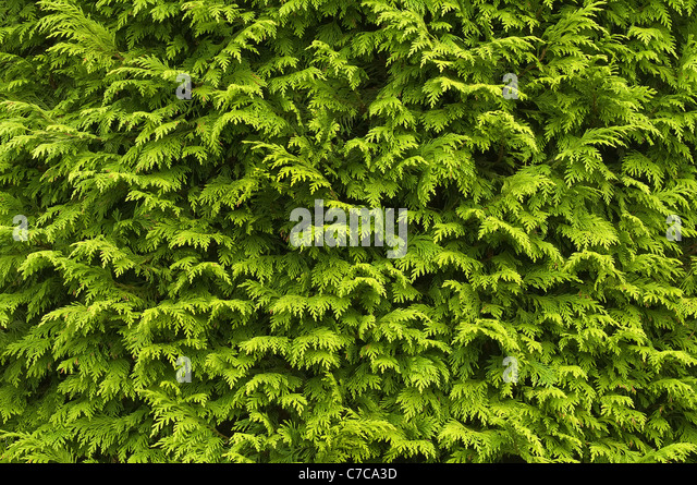 Close-up of the foliage of the garden conifer Chamaecyparis. - Stock Image