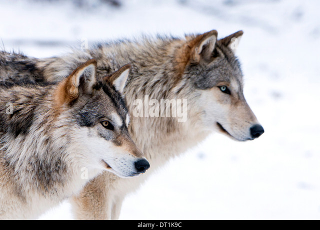 Two sub adult North American Timber wolves (Canis lupus) in snow, Austria, Europe - Stock-Bilder