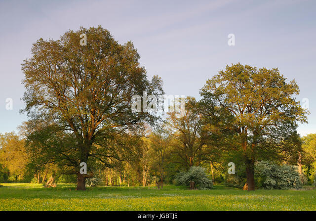 Oak trees (Quercus) in a spring meadow, Elbaue, biosphere reserve Middle Elbe, Saxony-Anhalt, Germany - Stock Image
