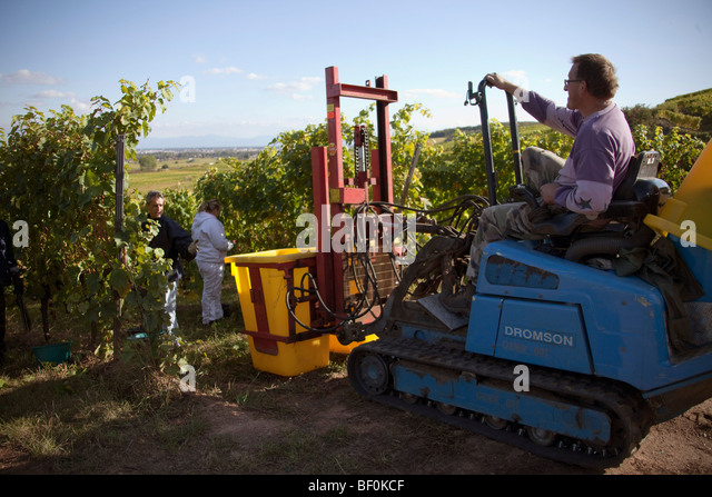 Vendanges harvesting tractor of Alsace grapes along the route des vins villages, Autumn, Alsace Haut Rhin, France - Stock-Bilder