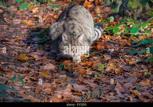 European wildcat, forest wildcat (Felis silvestris silvestris), stalking in an autumn forest, Germany, Bavaria, - Stock-Bilder
