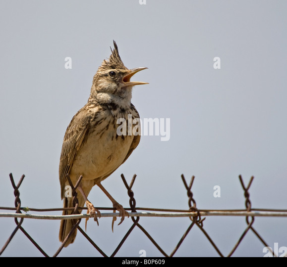 A Crested Lark singing on wire fence on the island Lesbos (Lesvos). - Stock Image