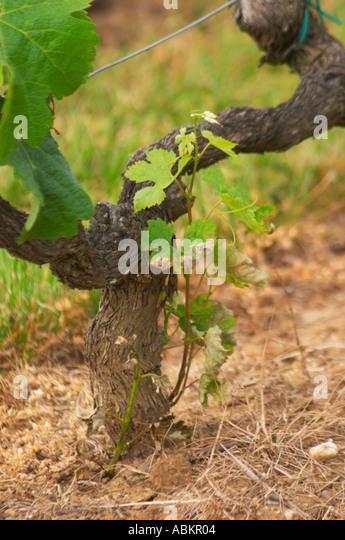 How to Graft Grape Vine forecasting