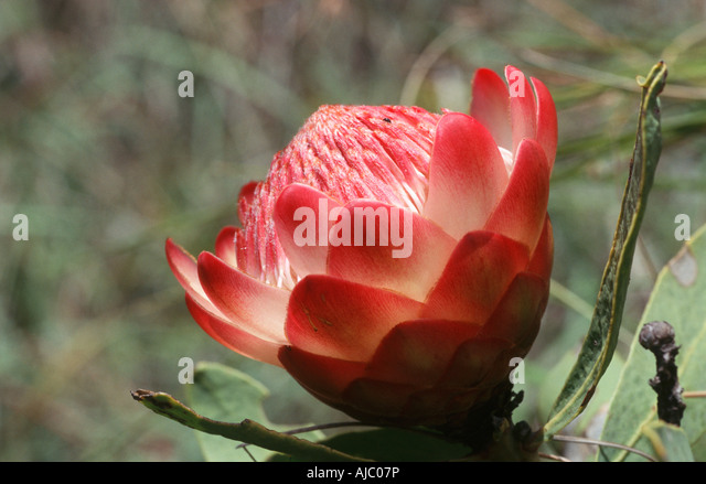 Close Up of a Drakensberg Sugarbush in Flower - Stock Image
