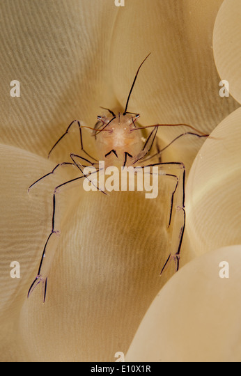 A Bubble coral Shrimp at the bubble coral, Malaysia (vir philippinensis) - Stock Image