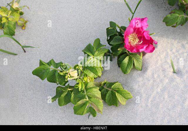 duft rose stock photos duft rose stock images alamy. Black Bedroom Furniture Sets. Home Design Ideas