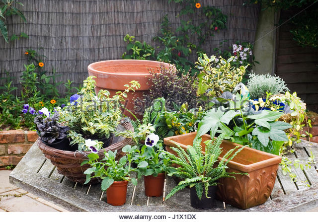 CONTAINER SEQUENCE   AUTUMN   WINTER   PLANTS AND CONTAINERS READY FOR ASSEMBLY - Stock Image
