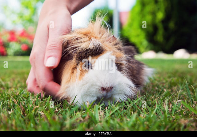 Cute guinea pig in the garden. Sunny weather. - Stock Image