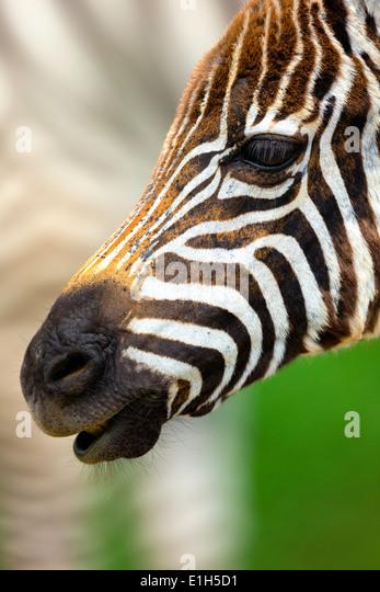 Close up portrait of burchells zebra (Equus burchelli), Lake Nakuru National Park, Kenya, Africa - Stock Image