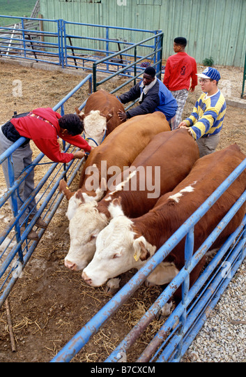 Students tending livestock at Philadelphia's Saul High School of Agricultural Sciences, Philadelphia, Pennsylvania, - Stock Image
