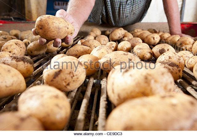 Close up of farmer holding potato above conveyor belt - Stock Image