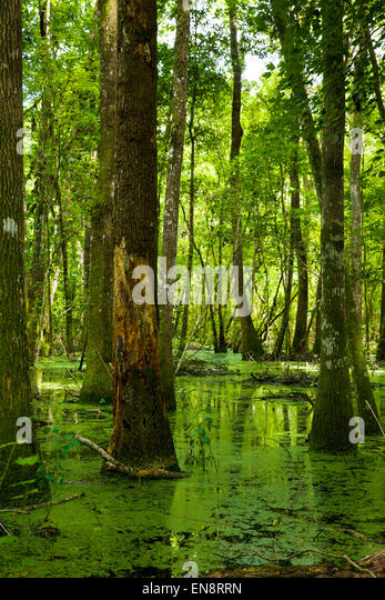 A bright green Florida Swamp in the afternoon sunlight. - Stock Image