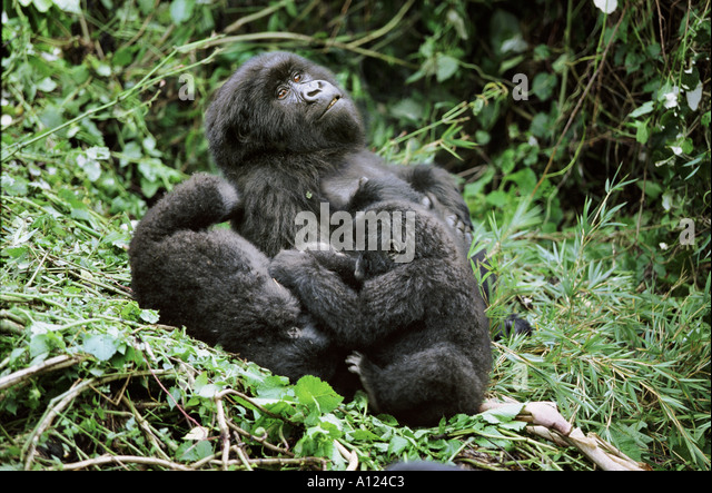 Mountain gorillas Mgahinga National Park Uganda - Stock Image