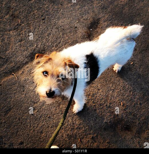 Dog on lead looking up - Stock Image