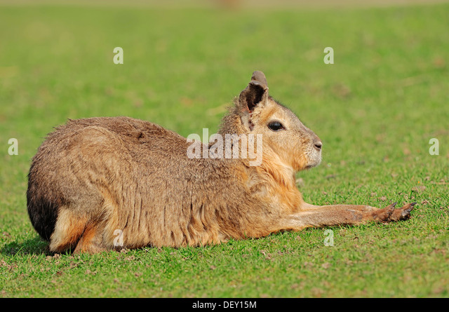 Patagonian Mara or Patagonian Cavy (Dolichotis patagonum), native to Argentina, South America, in captivity - Stock Image