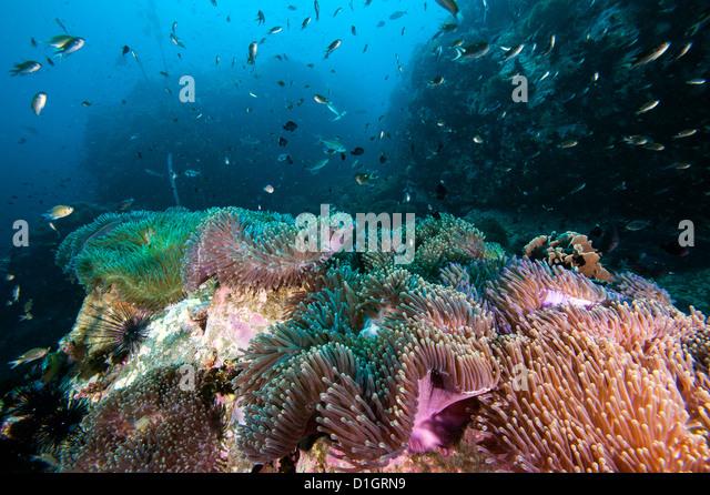 Carpet of anemones, Thailand, Southeast Asia, Asia - Stock-Bilder