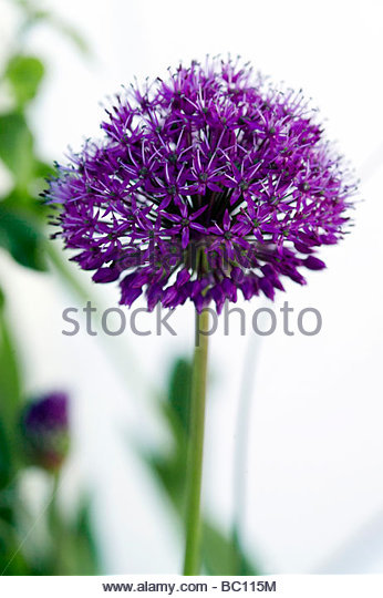 Allium hollandicum Purple Sensation Ornamental Onion - Stock Image