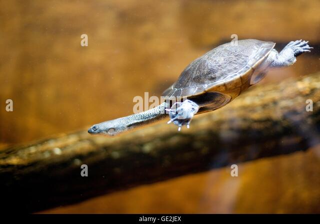 side necked turtles stock photos amp side necked turtles