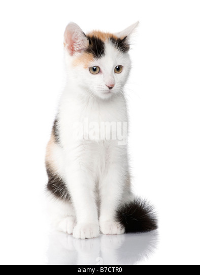kitten European Shorthair cat 2 months in front of a white background - Stock Image