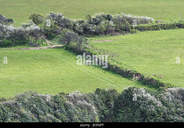 Sheep seen next to a Cornish hedgerow - hedgerows being valuable wildlife habitats as well as being windbreaks and - Stock Image