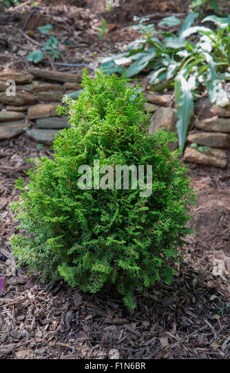 Chamaecyparis 'Spirited'  Hinoki Cypress - Stock Image