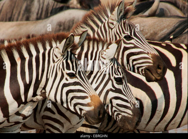 Common Zebra (Equus quagga), three Zebras, portrait, side view, Tanzania, Serengeti National Park - Stock Image