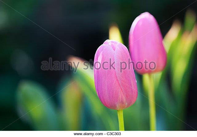 Tulipa. Pink Tulip 'Menton' flowers - Stock Image