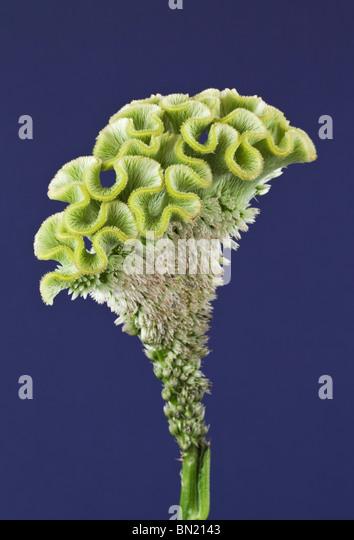 Green Cockscombe Celosia - Stock Image