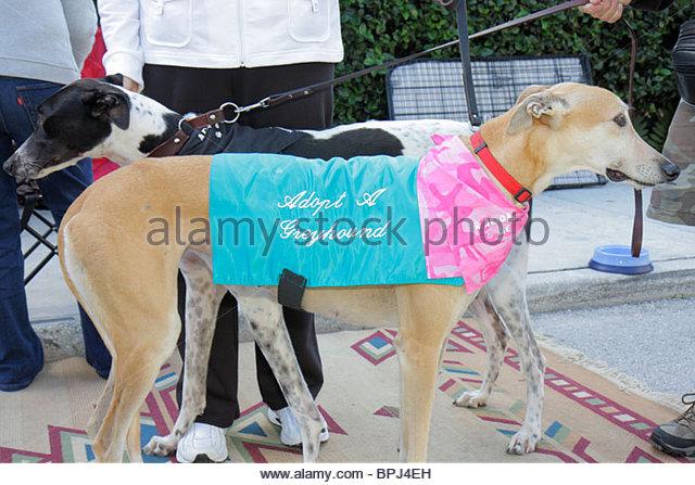 Greyhound Rescue West Palm Beach Fl