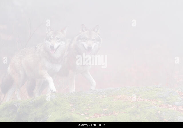 A captive pair of grey wolf walk side by side on a moss-covered rock in a misty forest, Bavarian Forest National - Stock Image