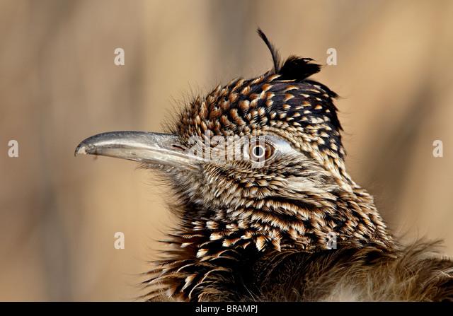 Greater Roadrunner (Geococcyx californianus), Bosque Del Apache National Wildlife Refuge, New Mexico, United States - Stock-Bilder