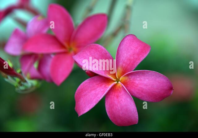 Singapore Pink Flower (Plumeria or Frangipani) - Stock Image