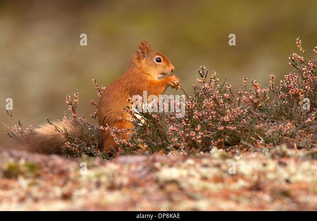 Red Squirrel, Sciurus vulgaris in heather - Stock Image
