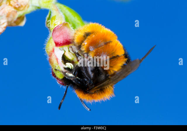 Tawny Mining Bee (Andrena fulva) female feeding on a Gooseberry (Ribes uva-crispa) flower in a garden. Powys, Wales. - Stock-Bilder