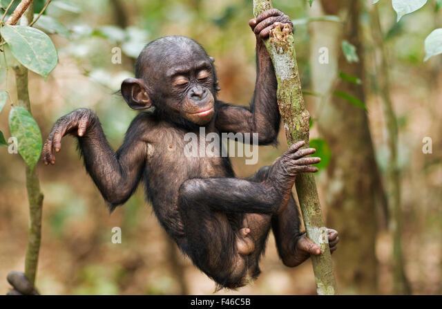 Bonobo male baby 'Bomango' aged 10 months climbing a branch (Pan paniscus). Lola Ya Bonobo Santuary, Democratic - Stock-Bilder