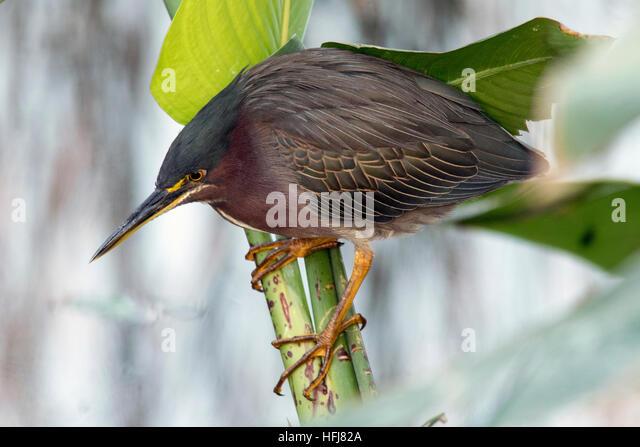 Green Heron - Green Cay Wetlands - Boynton Beach, Florida USA - Stock Image