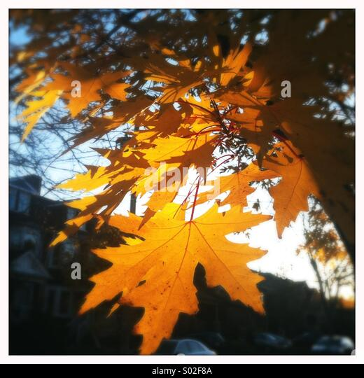 Close up of maple leaf in autumn, Toronto, Ontario, Canada - Stock Image