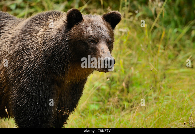 An adult mother grizzly bear standing looking away. - Stock Image