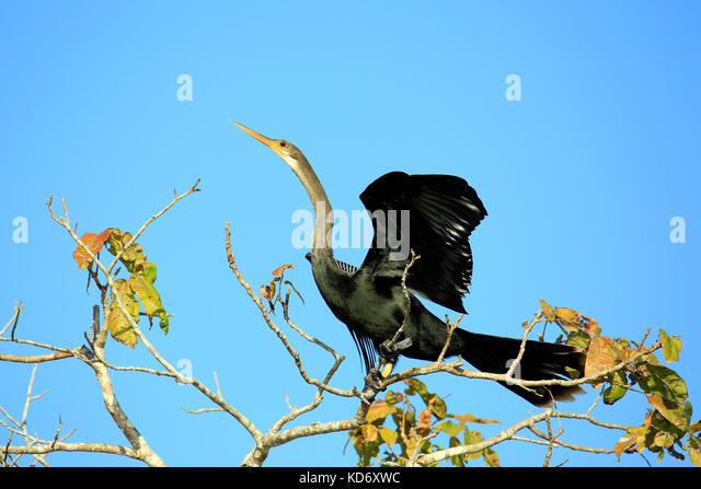 Anhinga (aka Snakebird, American Darter) Spreading its Wings, about to take off from the Top of a Tree. Rio Claro, - Stock Image