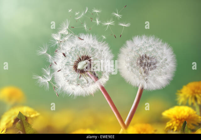 Dandelion clock in morning light - Stock Image